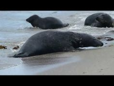 ▶ Seehund Helgoland & Düne - Teil. 1 : Seehunde und Kegelrobben am Strand - YouTube