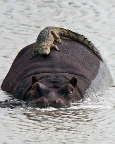Alligator hitching a ride.