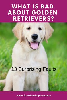 Golden Retriever Discover Golden Retrievers Cons What is bad about Golden Retrievers? Find out the 13 surprising faults of this breed. Female Golden Retriever, Golden Retriever Names, Golden Retriever Training, Grooming Golden Retriever, Mini Golden Retriever, Chien Goldendoodle, English Golden Retrievers, Funny Golden Retrievers, Training Tips