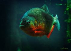 Pygocentrus Nattereri, aka Red Belly Piranha