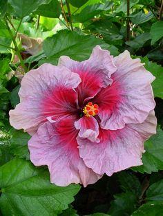 Hibiscus Lavender Beauty
