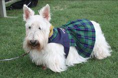 (white) Wheaten Scottish Terrier... Like Pippa