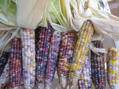 Glass Gem Corn is an intriguing varietal that produces rows of glimmering, opalescent kernels that seem to bloom like heirloom jewels. Like many heirloom treasures, Glass Gem corn has a name, a pla…