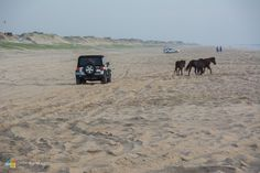 Carova Beach, Outer Banks North Carolina. Wild Mustangs!!
