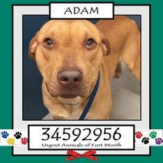**Fort Worth, TX - Current Status: CODE RED\r\n\r\n Reason for URGENT: Upper Respiratory Infection\r\n\r\n Animal ID: 34592956\r\n Name: Adam\r\n Breed: Pit Bull mix\r\n Sex: Male\r\n Age: 3 years\r\n Weight: 65 lbs\r\n Neutered\r\n Heartworm Negative\r\n\r\n Intake: 2\/7\r\n Found: 2100 blk Jacksboro Hwy 76114\r\n\r\n Personality\r\n 3\/1: Adam is a bit shy at first, playful and loving after a few minutes of talk and sitting. - Samantha
