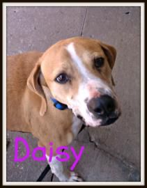 #OKLAHOMA ~ Hi my name is Daisy! I'm heartworm positive & undergoing treatment. I still love to play & run around! I'd do a happy dance to find  my forever home! Paw-Leeeze come meet me at the at the Tulsa Humane Society  6232 E. 60th St  #Tulsa OK 74135 fido@tulsapets.com