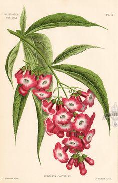 Botanical Prints by Lemaire, Verschaffelt & Linden 1860-1896