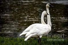 Two Trumpeter Swans: See  more images at http://robert-bales.artistwebsites.com/