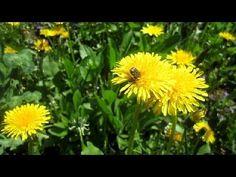 Весна. Одуванчики. Пчела. Жук. Апрель (Bee. Beetle. Nectar. Dandelions)