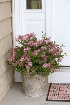 Enjoy the fragrant flowers of Bloomerang Pink Perfume reblooming lilac every time you come home by planting it in a container next to your entryway.