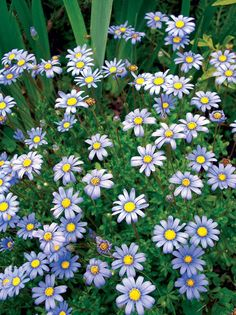Blue Marguerite or Kingfisher Daisy