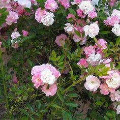 Rosa banksiae 39 lutea 39 rosier de banks ensoleill e mi for Rosier grimpant pour mi ombre