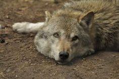 Lueneburger Heide Wolves 11 by windfuchs on DeviantArt Gray Wolf, Wolves, Worlds Largest, Fox, Deviantart, Stock Photos, Artist, Animals, Pagan