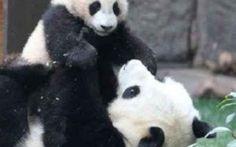 Perché l'uomo salva solo gli animali che gli piacciono, come il Panda Il Panda Gigante è finalmente salvo. Ma dietro questo grande successo per la coscienza globale, si nasconde una triste veritá che è quella di un uomo disposto solo a investire risorse e tempo nella s #panda #animali #natura #wwf #ambiente