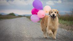GOLDEN STARS by dogs in motion | golden retriever photography @clari calahari