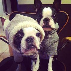 boston terrier dogs wearing hooded sweatshirts