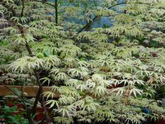 """Acer palmatum """"Ukigumo"""" (""""Floating Cloud"""" Japanese Maple) spring foliage by… Toronto Gardens, Small Front Gardens, Acer Palmatum, Japanese Maple, Green Leaves, Garden Plants, Clouds, Spring, Zen"""