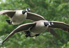 waterfowl-photography3