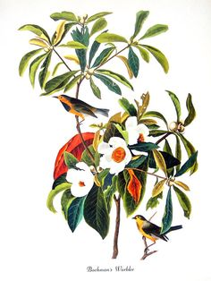 Bachman's Warbler 1979 Vintage Audubon Bird Print Book Plate