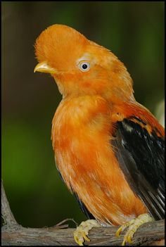 The Andean Cock-of-the-rock is a medium-sized passerine bird of the Cotinga family native to Andean cloud forests in South America. It is widely regarded as the national bird of Peru.