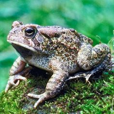 Every time I am going through an episode or rough time I see toads. I believe they are my spirit ani. - Properties Of Frogs Beautiful Creatures, Animals Beautiful, Animals And Pets, Cute Animals, Carpeaux, Frog And Toad, Frog Frog, Wives Tales, Old Wife