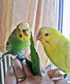 My budgies eating spinach