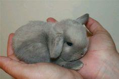 Dwarf lop bunny <3