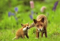A Japanese red fox cub playfully bites its mother's tail, Kitsune, Japan Cute Creatures, Woodland Creatures, Beautiful Creatures, Animals Beautiful, Beautiful Babies, Fantastic Mr Fox, Fox Art, Mundo Animal, Cute Animal Pictures