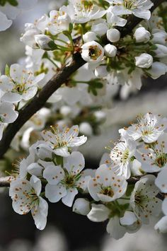 Cerisier <3