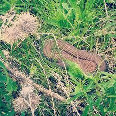 after wild koalas wallabys and emus I finally spotted a wild #snake  this one was #sunbathing a bit  (but don't worry the walking trail went above the #grass ) I just realised it is no copperhead - could somebody tell me what kind of snake this #beauty is?  #australia #australianwildlife #iloveaustralia #victoria #towerhill #towerhillreserve #snakes #wildlife #animals #wildanimals #sunnyday #studyinaustralia #mymq by danchen92