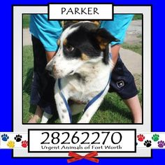 **Fort Worth, TX - Current Status: IMMEDIATE TAG NEEDED - Scheduled for euthanasia 7/4  Reason for URGENT: Heartworm Positive  Animal ID: 28262270 Name: Parker Breed: Pit Bull Sex: Male Age: 2 years Heartworm Positive  *Owner surrender https://www.facebook.com/fwaccurgents/photos/a.866615710077191.1073742653.137921312946638/886248004780628/?type=3&theater