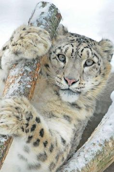 Snow leopard Only God would think to take a Leopard and combine him with something as beautiful as he is SNOW!   Love this pic!