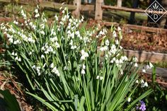 Leucojum aestivum is one of the best bulbs for naturalizing in our gardens. I started with a few from Leslie in California. Now, I'm giving bunches away. Shade Garden, Garden Plants, Flower Beds, Bulbs, Garden Ideas, March, Bloom, Gardens, Spring