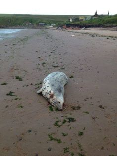 Hundreds of seals shot around Scotland's coasts were pregnant, feeding their young or failed to die instantly, according to a major new scientific study.