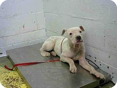***URGENT - ABANDONED PUPPY ALERT! 08/04/17-OBI - Fulton County Animal Services, Atlanta, GA - ADOPT OR FOSTER - Neutered Male Pit Bull Terrier Mix Size: Med. 26-60 lbs (12-27 kg) ID#: 11755070-A496029