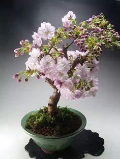 Japanese Cheery Bonsai