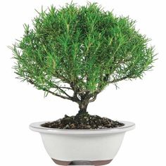Free 2-day shipping on qualified orders over $35. Buy Brussel's Rosemary Bonsai - Medium - (Outdoor) at Walmart.com