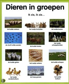Learning Dutch - animals in groups Learn Dutch, Dutch Language, School Info, Montessori Materials, Fauna, Kids Learning, Spelling, Netherlands, Teaching