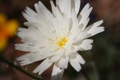 Desert Chicory-Tonto National Monument