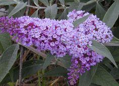 Buddleja davidii   'Ellens Blue'  loves it in the high desert does well aka butterfly bush