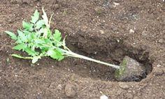 Trenching tomato seedlings