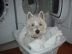 Oliver The Westie (West Highland White Terrier)