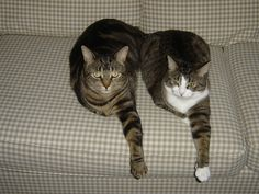 The Cat Hokey Pokey.you put your left foot in. Pretty Cats, Cute Cats, Funny Cats, Funny Animals, Cute Animals, Crazy Cat Lady, Crazy Cats, Neko, Miaou Miaou