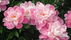 white pink peonies peony nature online