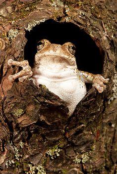 FRG 01 MC0005 01 © Kimball Stock Gray Treefrog Looking Out Of Hole In Bark