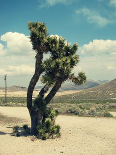 The only place you will find these trees is in the Mojave Desert and in Isreal!