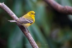 https://flic.kr/p/RPCB1P | The Early Bird  3I3557 | In general, warblers are insectivores. This means that you wonʻt see them at your seed and suet feeders.  Pine warblers, however, are also seed eaters. They are also some of the earliest warblers to return to their spring and summer grounds.  Both of these facts held true this afternoon when my feeders were suddenly given some added color by a pair Pine Warblers returning to the area.  It  was a pleasant splash of color to a damp and…