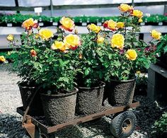 Growing Roses In Containers adds great summer color to your patio.Learn how to grow roses and taking care of roses in pots.