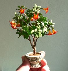angel's trumpet miniature