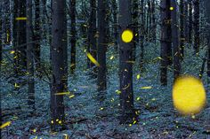 Through the magic of long-exposure photography, Missouri-based photographer Vincent Brady has captured the bright trails of light left behind by fireflies as they perform their nightly dances in the American Midwest.